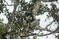 Indri in Andasibe 08.JPG