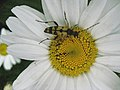 Insect on daisy - geograph.org.uk - 1435729.jpg