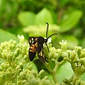 Insects Wasp from Madayipara DSCN2116.jpg