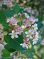 Irga rozowa Cotoneaster roseus.jpg