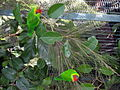 Iris Lorikeet (Psitteuteles iris) -on plant in cage2.jpg