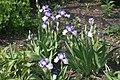 Iris at Ventnor Botanic Garden.JPG