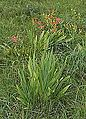 Iris domestica.JPG