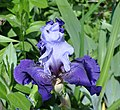 Iris germanica 'Best Bet' 001.jpg