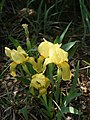 Iris lutescens (yellow form).jpg