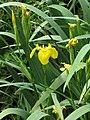 Iris pseudacorus 2 RF.jpg