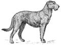 Irish Wolfhound (PSF).png