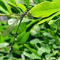 Ischnura elegans Kiev9.JPG