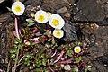 Isranunkel - ranunculus glacialis-4819 - Flickr - Ragnhild & Neil Crawford.jpg