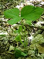 Jack-in-the-Pulpit Pinhook Bog 023.JPG