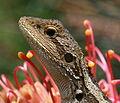 Jacky Lizard Kioloa 2.JPG