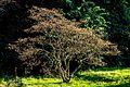 Japanischer Ahorn Queen-Auguste-Victoria-Park (Umkirch) jm30214.jpg