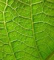 Jatropha hybrid - Leaf detail (129 DAS) (4595559479).jpg