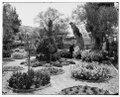 Jerusalem (El-Kouds). Old olive tree in Garden of Gethsemane LOC matpc.06701.tif