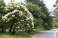 John McLaren Memorial Rhododendron Dell - Golden Gate Park, San Francisco, CA - DSC05424.JPG