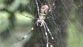 Joro spider (Nephila clavata).png