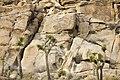 Joshua trees against boulder pile (15729627823).jpg