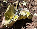 Julia Skimmer (Orthetrum julia falsum) ^ Teneral male - Flickr - gailhampshire.jpg