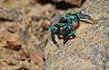 Jumping Spider (Salticidae) (8676318252).jpg