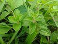Jungle Herbs.jpg