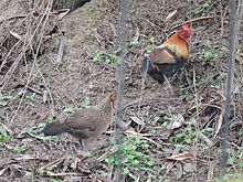 Jungle fowls in Sukhna Wildlife sanctury, Chandigarh, India.JPG