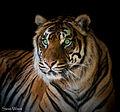 Just a green eyed Tiger (13982979818).jpg