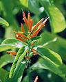 """Justicia spicigera, the """"Mexican Honeysuckle"""" (9125081533).jpg"""