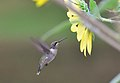 Juvenile male Ruby Throat checking out a sunflower. (6112367222).jpg
