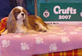 KC Cavalier at Crufts 2007.jpg