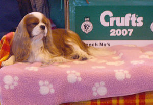 Charles Cruft (showman) - A Cavalier King Charles Spaniel at the Crufts dog show in 2007