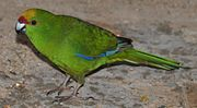 A green parrot with blue-tipped wings, an orange forehead, and a red mark above the beak