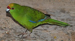 Yellow-crowned parakeet - In captivity
