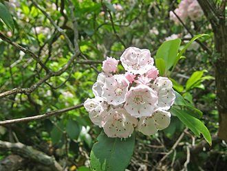 Linnaean taxonomy - Kalmia is classified according to  Linnaeus' sexual system in class Decandria, order Monogyna, because it has 10 stamens and one pistil
