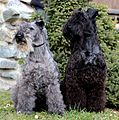 Kerry Blue Terrier Kelly with Russell.JPG