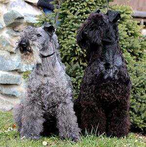 Kerry Blue Terrier - On the left a 14 years old Kerry Blue Terrier. The dog has already changed the colour of his coat to a light grey. On the right is an one year old Kerry Blue Terrier. This as black dog born Kerry Blue Terrier starts changing his color.