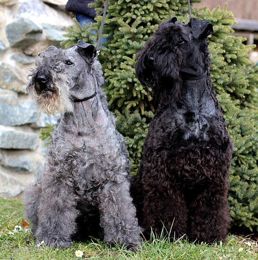 Kerry Blue Terrier Kelly with Russell