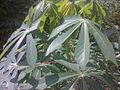 Ketela Pohon jie73 ( 3 ).jpg