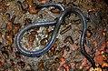 Khaire's Black Shieldtail Melanophidium khairei by Dr. Raju Kasambe DSCN1145 (27).jpg