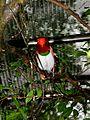 King Bird-of paradise Cicinnurus regius (6970115030).jpg
