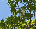 Kingbird 2.jpg