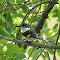 Kingfisher (6018355420).jpg