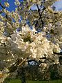Kirschblüte 2014-06-02 06-15.jpg