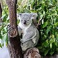 Koala (31931116412).jpg