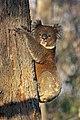 Koala (Phascolarctos cinereus) (26681349741).jpg