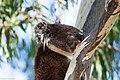 Koala in Belair National Park.jpg