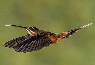 Koepckes hermit species of bird