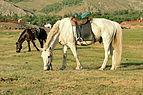 Konie mongolskie w Parku Narodowym Gorchi-Tereldż 04.JPG