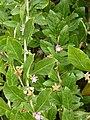 Korina 2010-08-25 Lycium chinense 2.jpg
