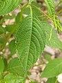 Korina 2014-07-26 Impatiens parviflora 1.jpg
