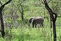 Kruger Park, Elephant - panoramio.jpg